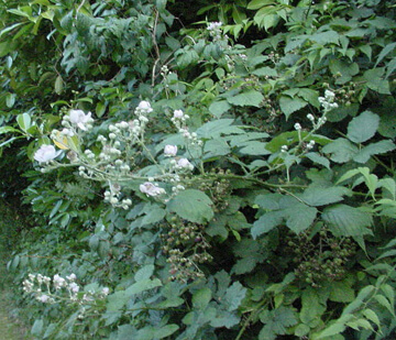Bramble perennial weeds