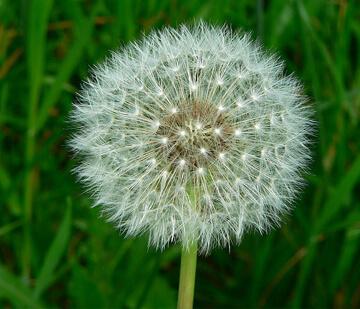 Dandelion perennial weeds