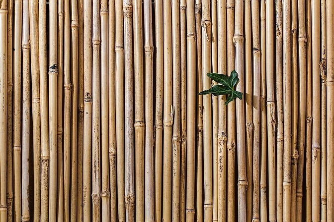 bamboo Japanese knotweed