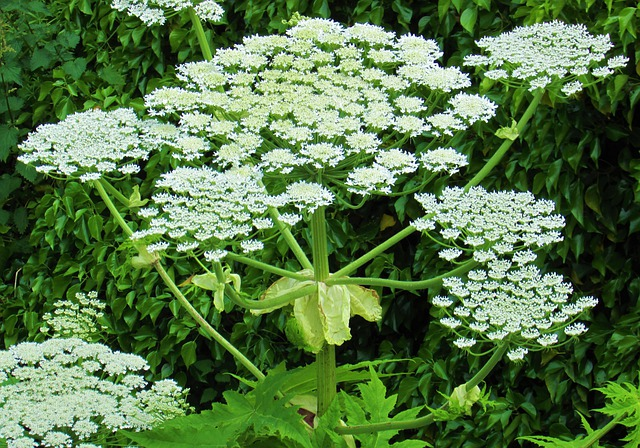 Giant hogweed, a plant you definitely don't want in your garden