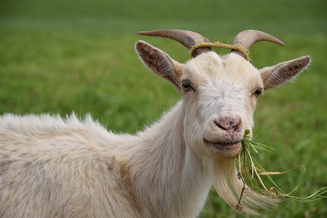 Goat with grass in its mouth