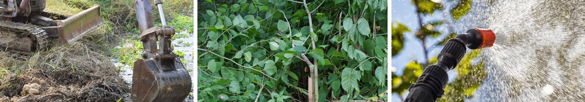 How Do You Get Rid of Japanese Knotweed