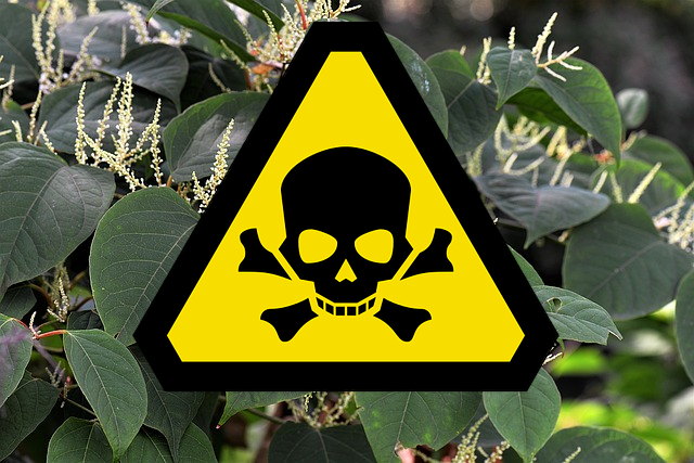 Is Japanese knotweed poisonous?