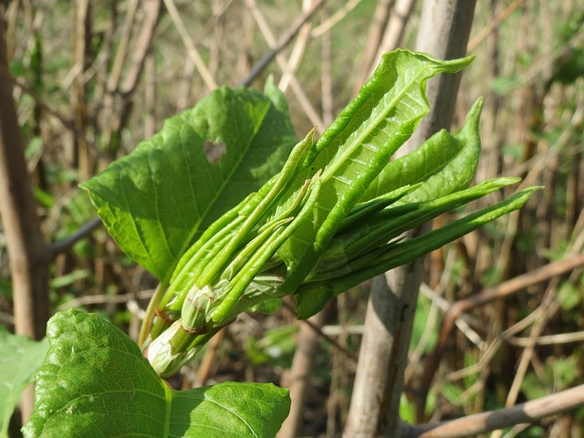 Japanese knotweed growing