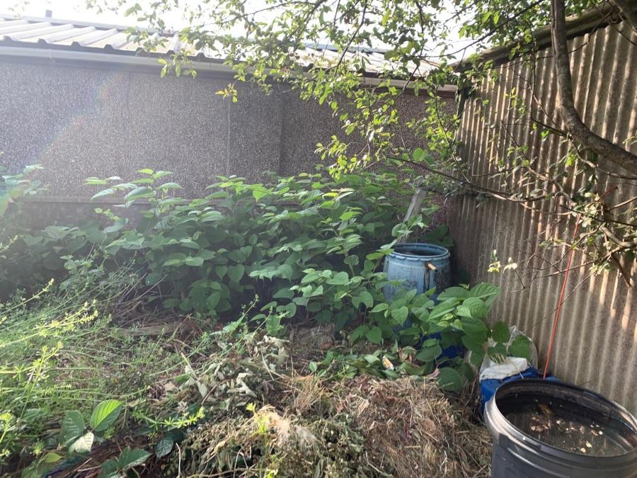Japanese knotweed in a UK garden