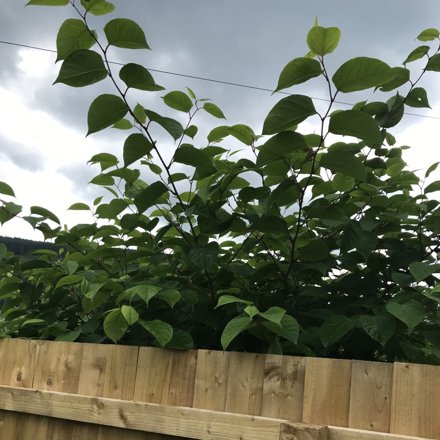 Japanese knotweed growing over a garden fence