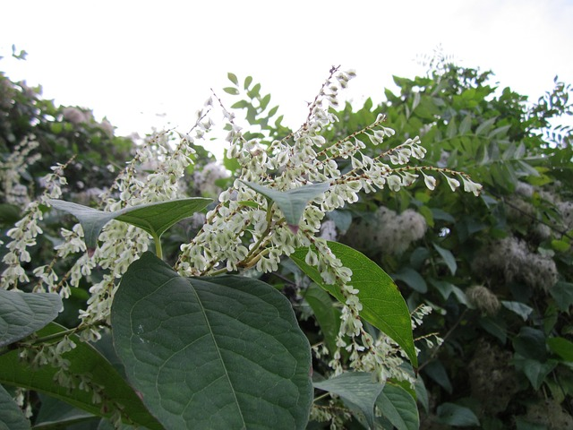 Japanese knotweed, an invasive plant species