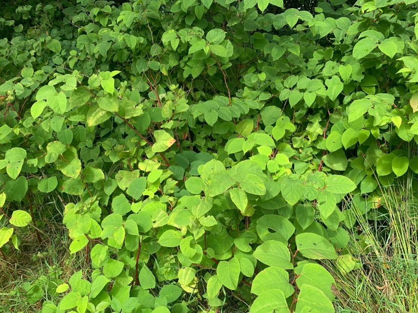 Japanese knotweed plant