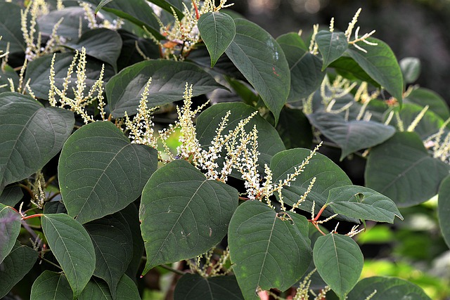 eradicate japanese knotweed