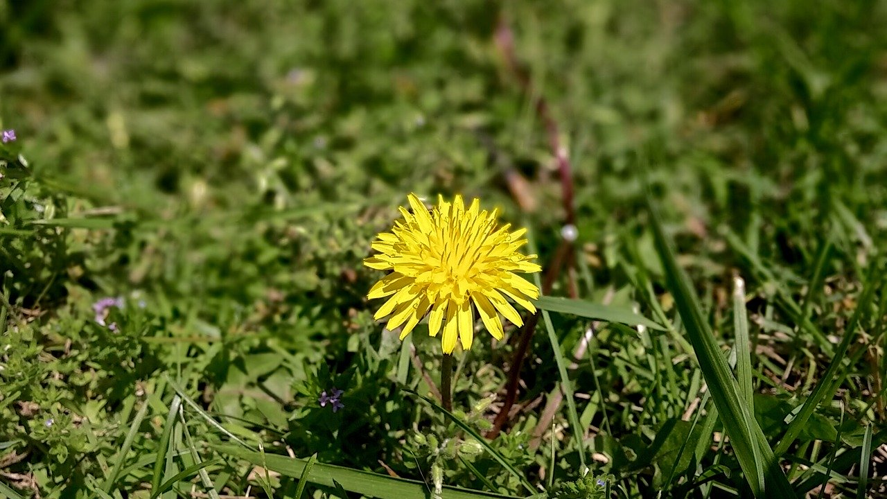 Lawn with dandelions and other weeds